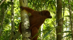 Red-bellied lemur clinging on the tree, looking around Stock Footage