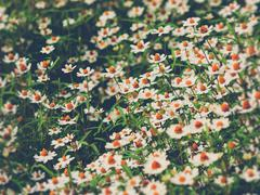 Field of daisy flowers (Vintage filter effect used) Stock Photos