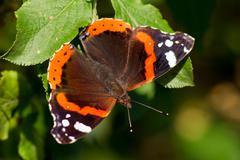 admiral butterfly (Vanessa Atalanta) - stock photo