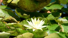 water lily - stock footage