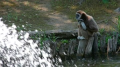 Gibbon White-Handed Stock Footage