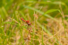 Front view of a Red-Veined Darter Stock Photos