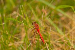 Dorsal View of Red-Veined Darter Stock Photos