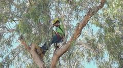 4K UHD arborist safety helmet safety rope adjust in tree  Stock Footage