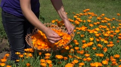 Gardener girl hands gather marigold herb flower bloom to wicker basket. 4K Stock Footage