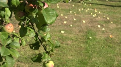 Apple tree branch with red ripe fruits and windfall apples lie on meadow grass Stock Footage