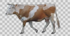 Red white cow walks on a transparent background. Stock Footage