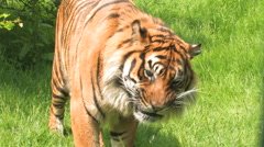 Large Tiger close up, standing eating & chewing. - stock footage