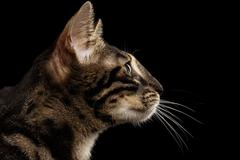 Closeup Bengal Cat Face in Profile view, isolated on Black - stock photo