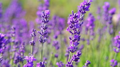 Extreme close up of lavender flowers. Lavender field in Crimea. - stock footage