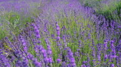 Close up tilt shot of  lavender. Lavender field on the backgroud in soft focus. - stock footage