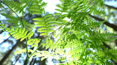 Sun Glimmering through Ferns tracking, dolly shot 60fps Stock Footage