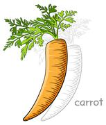 fresh raw carrot - stock illustration