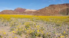 Death Valley Desert Flower Super Bloom - Spring Stock Footage