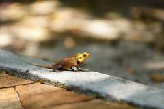 Chameleon sunbathe in morning with blur nature background - stock photo