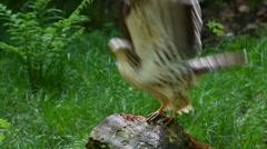European honey buzzard taking off from tree stump Stock Footage