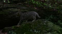 European wild cat kitten running over rock ledge in forest Stock Footage