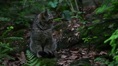 European wild cat kitten walking away in pine forest Stock Footage