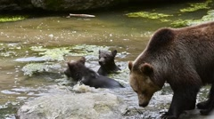 Female and two brown bear cubs swimming and play fighting in pond Stock Footage