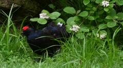 Black grouse (Lyrurus tetrix) male emerging from dense vegetation Stock Footage