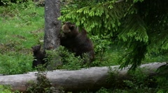 Female brown bear and two cubs trying to climb into tree - stock footage