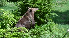 Brown bear with two cubs eating tree leaves in forest in spring Stock Footage