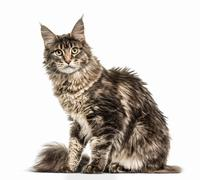 Maine Coon isolated on white Stock Photos