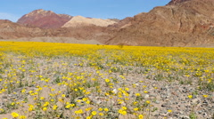 Zoom Out  - Death Valley Desert Flower Super Bloom - Spring Stock Footage