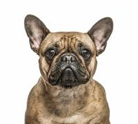 French Bulldog isolated on white - stock photo