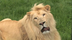 White Lion, king of the jungle, keeping his eye on the camera! Stock Footage