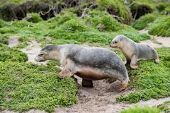 Puppy australian sea lion on green bush in kangaroo island Stock Photos