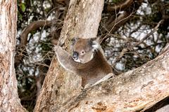 Wild koala on a eucalyptus tree portrait Stock Photos