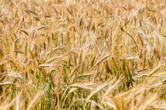 Mature Grain wheat field in summer time close up detail - stock photo
