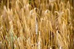 Mature Grain wheat field in summer time close up detail Kuvituskuvat