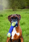Portrait of boxer dog holding toy bone in mouth Stock Photos