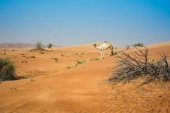 Single camel in desert, Dubai, United Arab Emirates Stock Photos