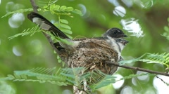 Pied fantail bird sitting on chicks in nest Stock Footage