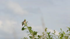 Bird Whinchat (Saxicola rubetra) sitting on a branch and singing a song Stock Footage