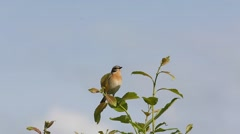 Whinchat (Saxicola rubetra) sitting on a branch and singing a song Stock Footage