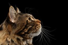 Closeup Maine Coon Cat Face in Profile view, Isolated Black - stock photo