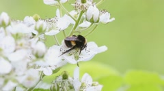 Bumblebee collects nectar on the flowers of blackberry - stock footage