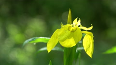 Yellow Iris Iris Pseudacorus In the floodplain forest Stock Footage