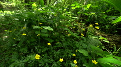 Marsh Marigold, Caltha Palustris Blooms In Early Spring Stock Footage