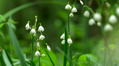 Spring Snowflake Flowers, Leucojum Vernum, Group In A Spring Floodplain Forest Stock Footage