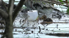 Mallards Family Swimming In Water, Duck With Ducklings - stock footage