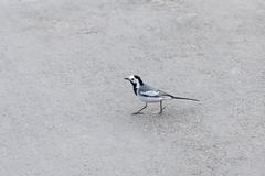 Beautiful black and white bird, Male of Wagtail, Motacilla alba Stock Photos