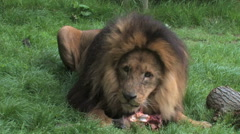 BIG Lion, medium shot, eating and chewing his prey. Stock Footage