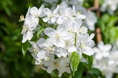 Apple tree flowers In the beginning of spring Stock Photos