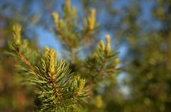 Pine tree in the Finnish forest - stock photo