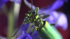 Insect beetle, Spanish fly, Lytta vesicatoria sitting on leaf, macro Stock Footage